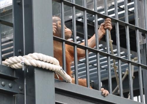 6月25日 旭山動物園 オランウータンのモリトが見ているものは???