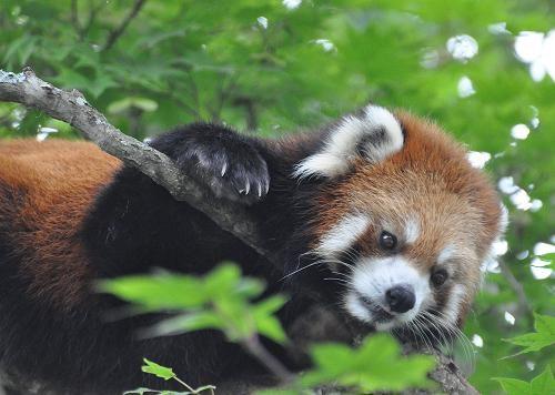 7月24日 釧路市動物園 レッサーパンダのコーアイ