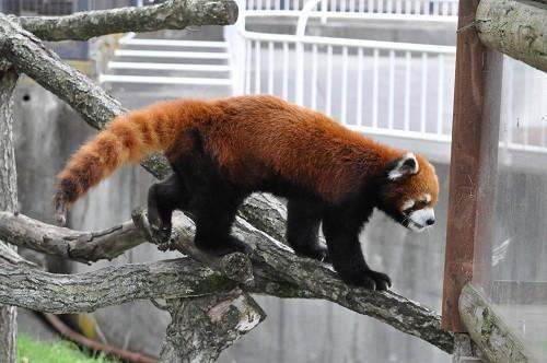 7月24日 釧路市動物園 レッサーパンダ