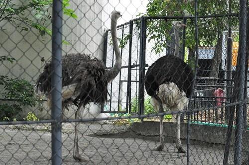 7月25日 旭山動物園 ダチョウ