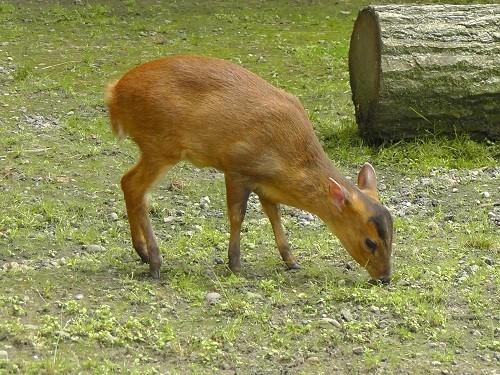 旭山動物園 シロテテナガザル