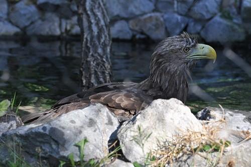 8月13日 旭山動物園 オジロワシの行水?