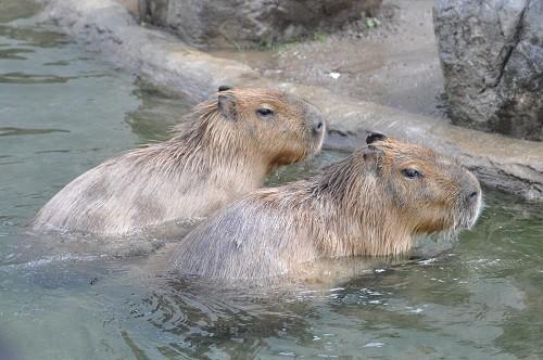 8月26日 旭山動物園 カピバラ