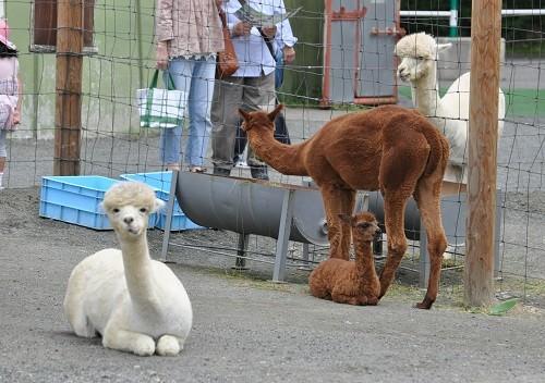 釧路市動物園 アルパカ 滝上発! 動物園の動物が大好き!! by 西 ...