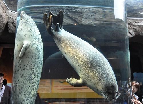 9月12日 旭山動物園 マリンウェイを泳ぐゴマフアザラシ