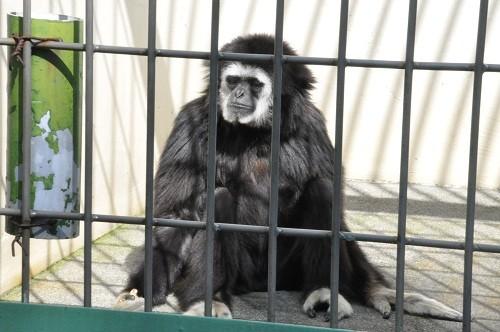 9月10日 釧路市動物園 シロテテナガザル