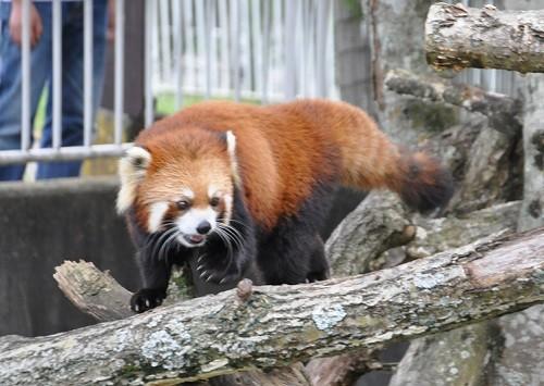 9月10日 釧路市動物園 レッサーパンダ