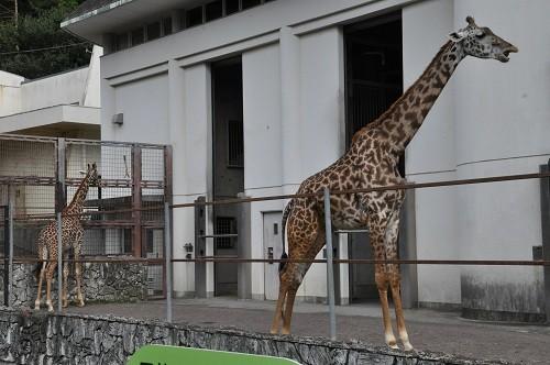 9月25日 日本平動物園 マサイキリンの親子