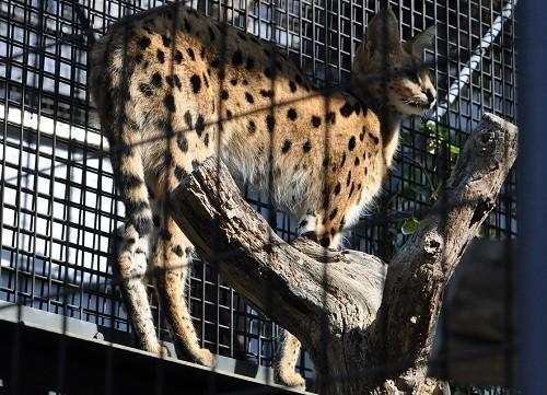 10月9日 円山動物園 サーバルキャットの朝