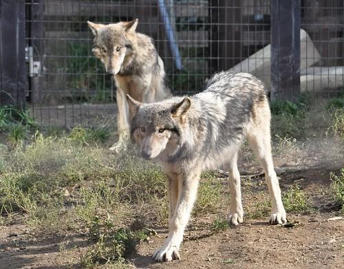 10月9日 円山動物園 シンリンオオカミの14時過ぎ