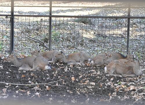 10月20日 おびひろ動物園 エゾシカ