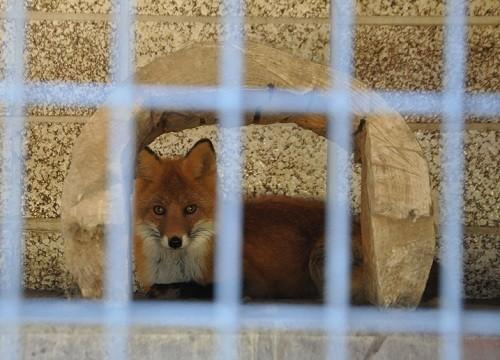 10月20日 おびひろ動物園 キタキツネの北斗