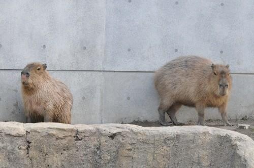 10月11日 旭山動物園 12:46のカピバラ