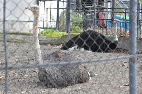 10月28日 旭山動物園 ダチョウ モモイロペリカン アミメキリン