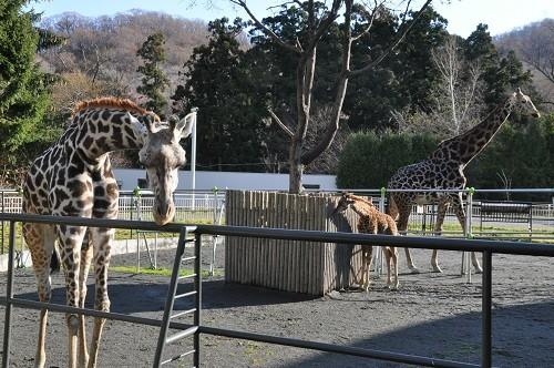 (動画を追加しました)11月20日 円山動物園 マサイキリン