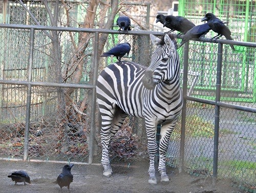 11月20日 円山動物園 カラスに囲まれる飛馬