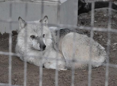11月20日 円山動物園 シンリンオオカミ一家
