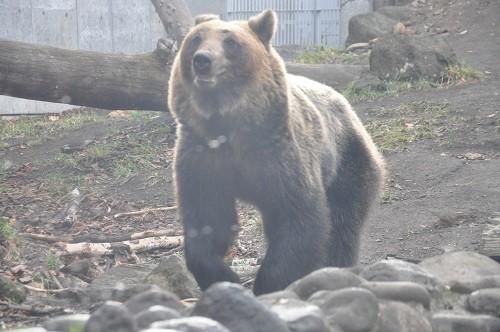 11月20日 円山動物園 エゾヒグマ館 とわ