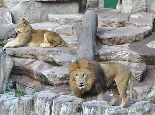 11月20日 円山動物園 ライオン