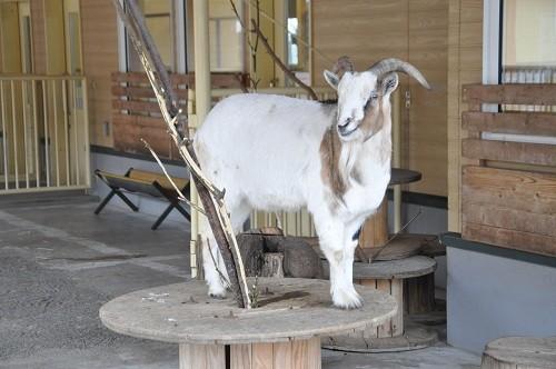 12月3日 おびひろ動物園 ちびっこふぁーむのヤギ・ヒツジ
