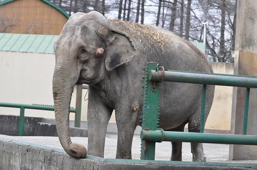 12月3日 おびひろ動物園 アジアゾウ ナナ