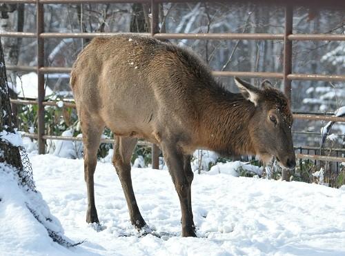12月1日 旭山動物園 ワピチ