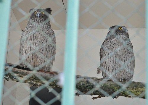 12月11日 釧路市動物園 シマフクロウの分散飼育始まります。