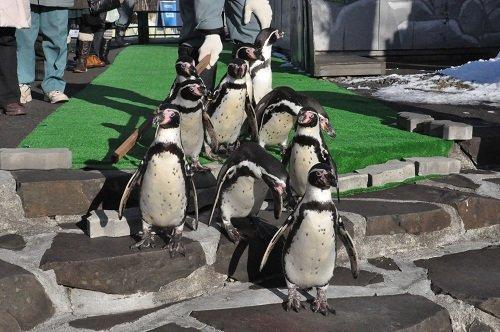12月11日 釧路市動物園 フンボルトペンギンのウォーキング