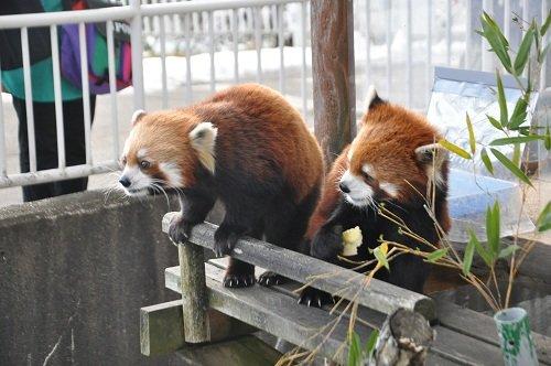 12月11日 釧路市動物園 レッサーパンダのパクパクタイム