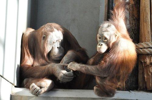 12月14日 旭山動物園 オランウータン