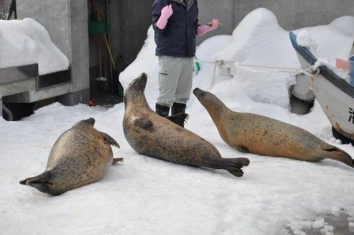 12月14日 旭山動物園 アザラシのもぐもぐタイム