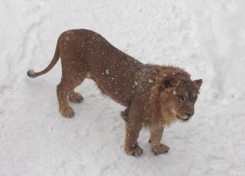 懐かしい写真シリーズ・・・2009年1月24日 ライオン アキラ