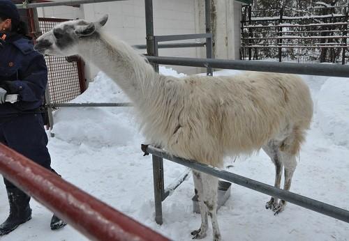 2月25日 おびひろ動物園 ラマ 雪丸