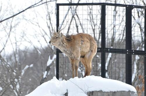 3月8日 旭山動物園 エゾシカのもぐもぐタイム