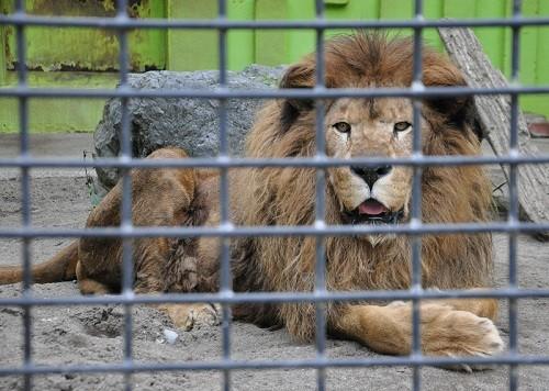 訃報・・・釧路市動物園 ライオン キング
