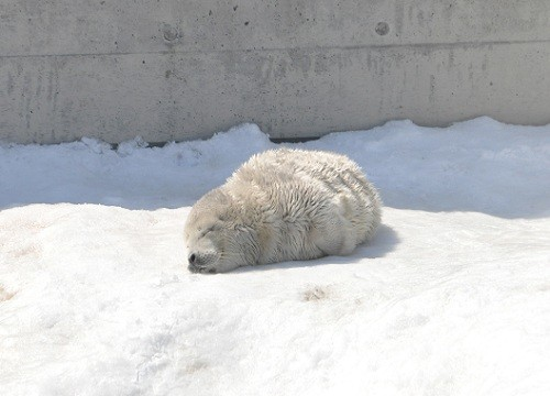 4月8日 旭山動物園 ゴマフアザラシの赤ちゃん