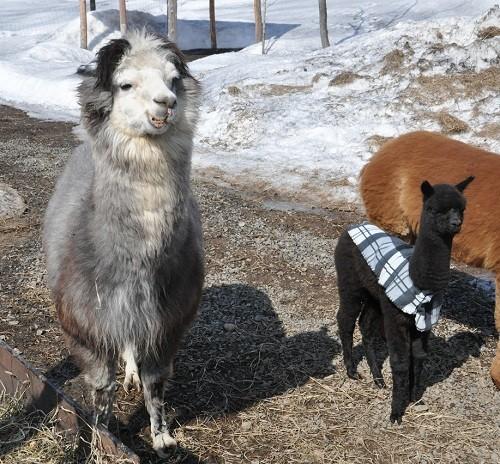 4月15日 剣淵町 VIVAアルパカ牧場 ギンの家族