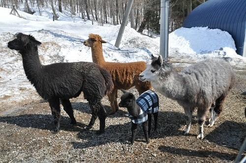 4月15日 剣淵町 VIVAアルパカ牧場 メスたちに囲まれるギン