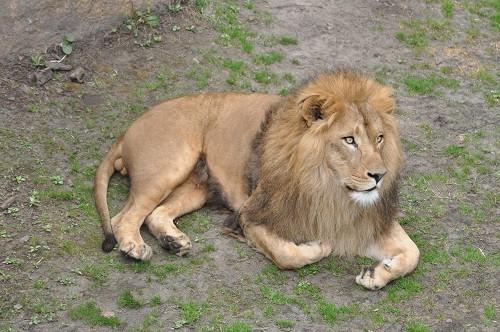 4月29日 旭山動物園 ライオン一家