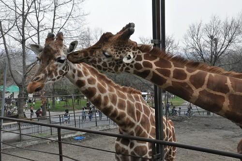 4月29日 旭山動物園 アミメキリン