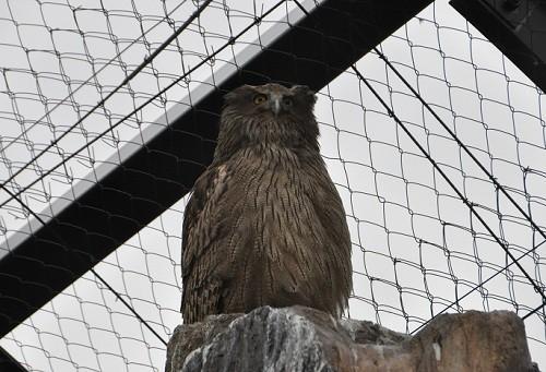 4月29日 旭山動物園 シマフクロウ