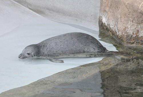 4月29日 旭山動物園 ゴマフアザラシ