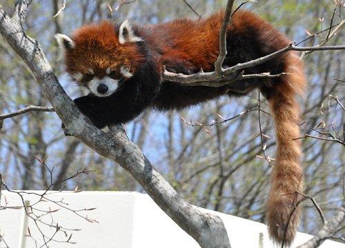 5月20日 釧路市動物園 レッサーパンダ