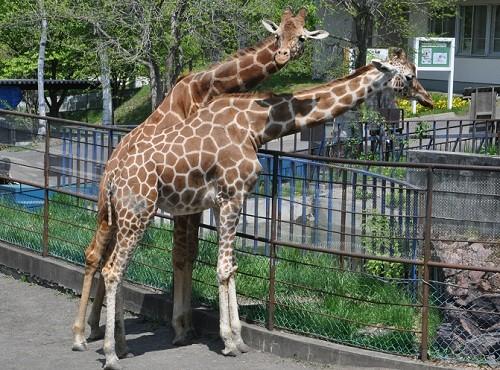5月22日 旭山動物園 アミメキリン