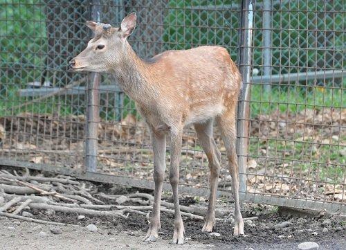 6月7日 おびひろ動物園 エゾシカの赤ちゃんたち