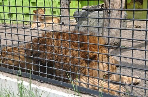 7月22日 釧路市動物園 ライオン アキラとゆうき