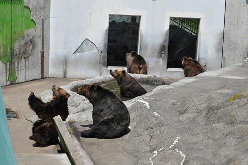 7月22日 釧路市動物園 エゾヒグマ