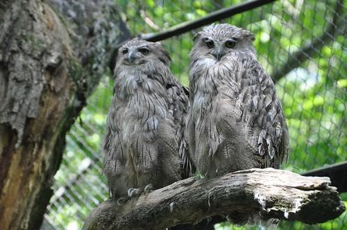 7月22日 釧路市動物園 シマフクロウ クックとロックの両親