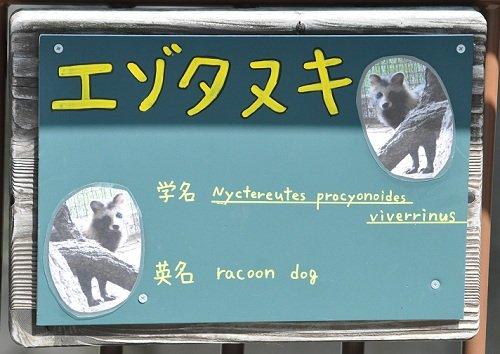 9月4日 旭山動物園 エゾタヌキ