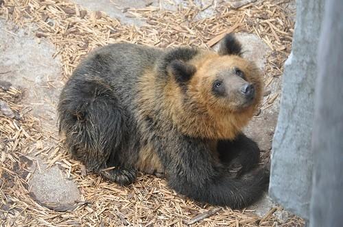 9月4日 旭山動物園 エゾヒグマ 雪